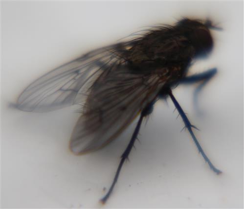 Blaue Schmeißfliege(Calliphora vicina)