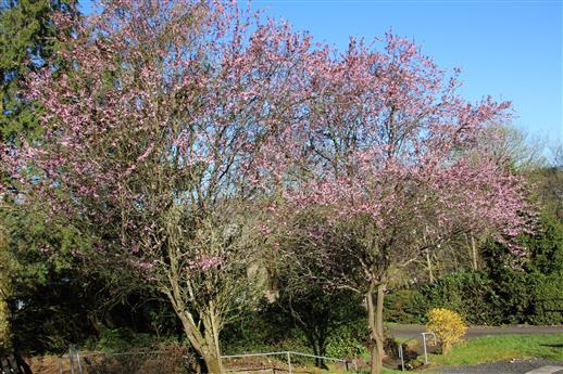 Japanische Blütenkirsche(Prunus serrulata(Lindl.)) zwei Kirschbäume in Blüte