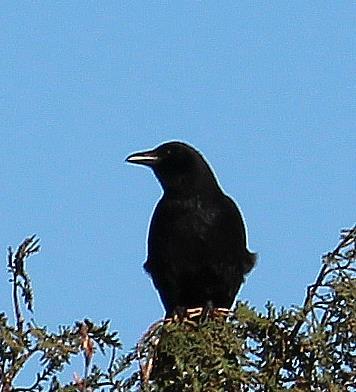 Junge Krähe(Corvus) sich am Morgen aufwärmend