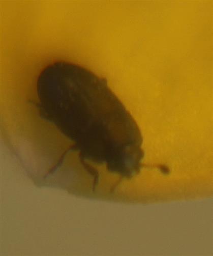 Glanzkäfer(Nitidulidae)