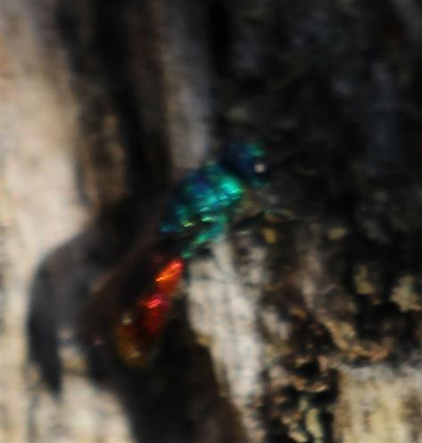 Goldwespe(Chrysis inaequalis)