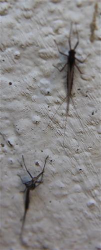 Eintagsfliege(Leptophlebia)