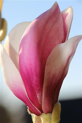 Blüte einer Purpur-Magnolie(Magnolia liliiflora(Desr.))