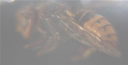 Hornisse(Vespa crabro(L. 1758))