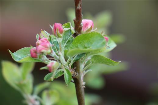 Blüte eines Apfelbaumes(Malus)