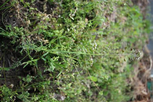 Gewöhnliches  Hirtentäschelkraut(Capsella bursa - pastoris(L.) Medik.)