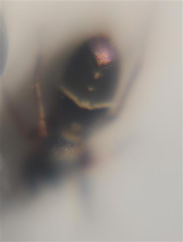 Ameisen-Springspinne (Syngeles hilarulus - venator)