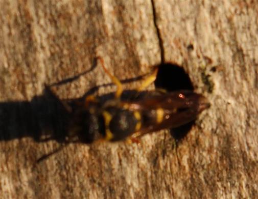 Faltenwespe(Ancistrocerus(Wesmael 1836)) beim Einschlüpfen in ein Käferbohrloch in einem Baumstumpf