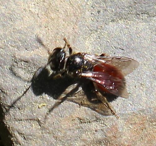 Blutbiene(Sphecodes vermutlich albilabris(Fabricius 1793))