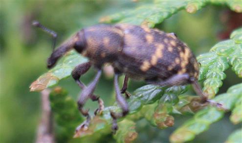 Großer braune Rüsselkäfer oder Fichtenrüsselkäfer(Hylobius abietis(L. 1758)) auf Scheinzypresse(Chamaecyparis)