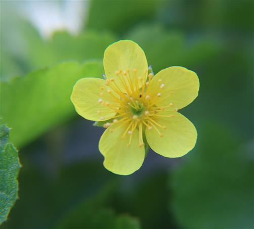Blüte des Gold-Fingerkrautes(Potentilla aurea(L.))