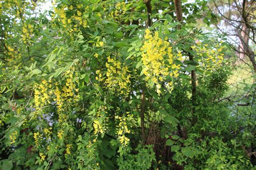 Gemeiner Goldregen(Laburnum anagyroides(Fabr.))