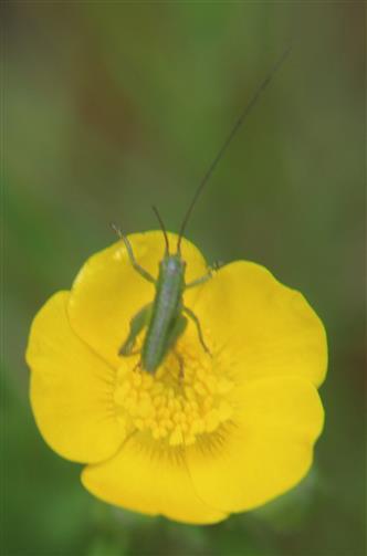Nymphe des Grünen oder Großen Heupferdes(Tettigonia viridissima(L. 1758))