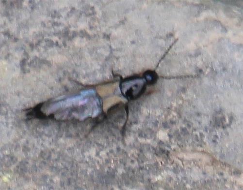 Philonthus (vermutlich) laminatus