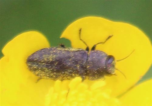 Prachtkäfer(Anthaxia helvetica(L. 1758))