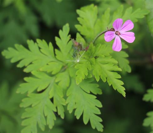 Stinkender Storchschnabel(Geranium robertianum(L.))