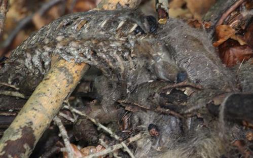 Gerippe des verendeten Rotfuchses(Vulpes vulpes(L. 1758))(jung)