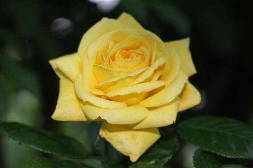 Gelbe (Garten-/ Tee-/Hybrid-)Rose(Rosa indet.)
