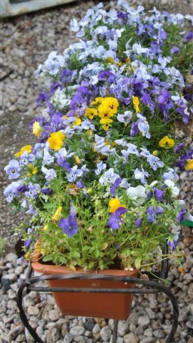 Stiefmütterchen(Viola) im Blumenkasten