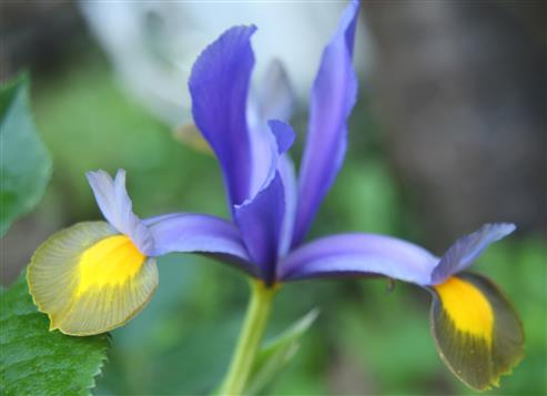 Spanische Schwertlilie(Iris xiphium)