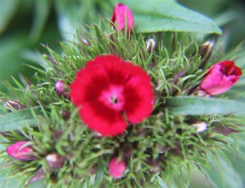 Bartnelke(Dianthus barbatus(L.))