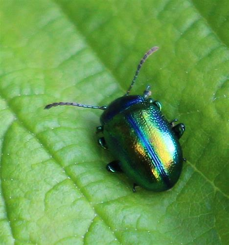 Himmelblauer Blattkäfer(Chrysolina coerulans(Scriba 1776))