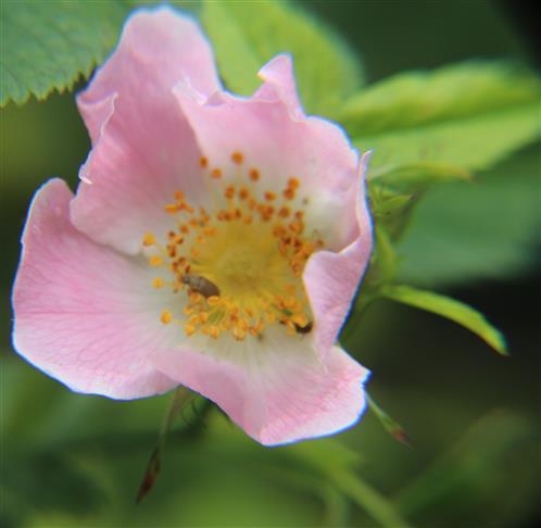 Blüte einer Hundsrose(Rosa canina(L.))