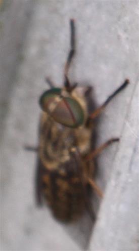 Pferdebremse(Tabanus sudeticus(Zeller 1842))