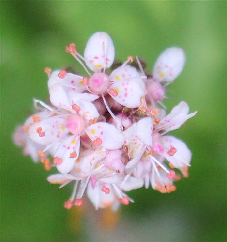 Blüten des Porzellanblümchens(Saxifraga x urbium)