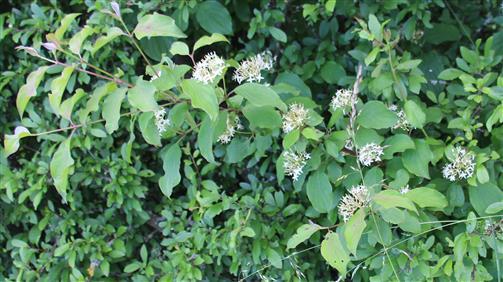 Roter Hartriegel(Cornus sanguineus(L.))