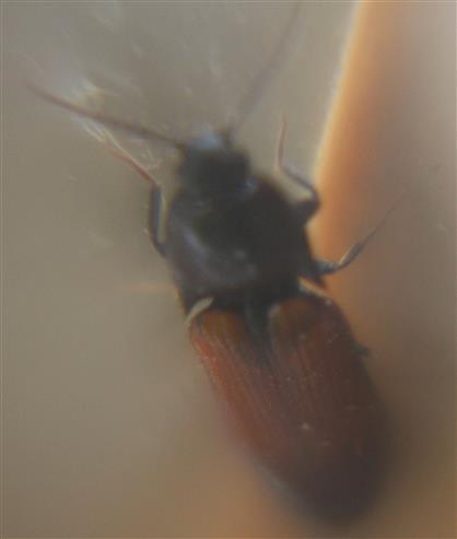 Gegürtelter Schnellkäfer(Ampedus balteatus)