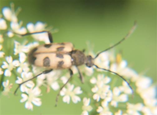 Gefleckter Blütenbock(Pachytodes cerambyciformis(Schrank 1781))