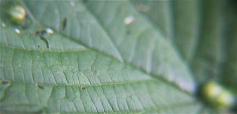 Gallen der Brennesselgallmücke(Dasineura urticae) an Brennessel(Urtica dioca(L.))