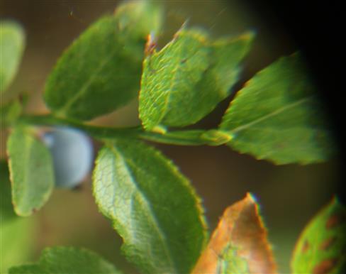 Heidelbeere(Vaccinium myrrtillus(L.))