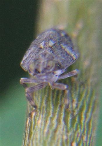 Echte Käferzikade(Issus coleoptratus(Fabricius))