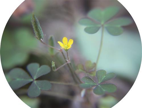 Aufrechter Sauerklee(Oxalis stricta(L.))
