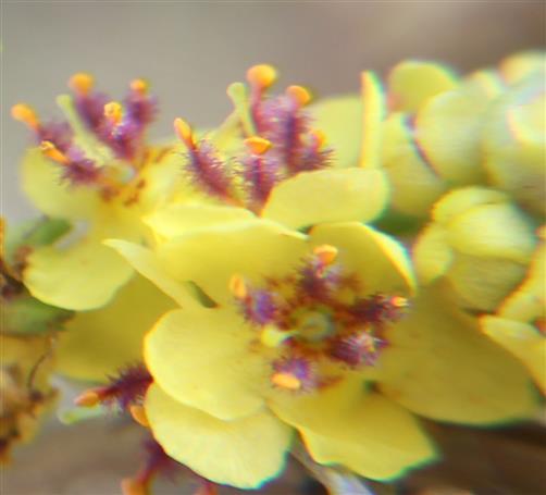 Blüten der Schwarzen Königskerze(Verbascum nigrum(L.))