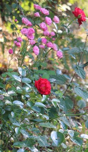 Kulturrosen(Rosa indet.)