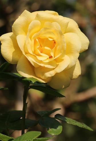 Gelbe Teerose(Rose)