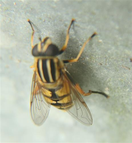 Große Sumpfschwebfliege(Helophilus trivitatus(Fabricius 1805))