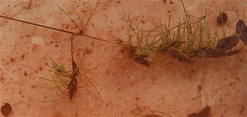 Aufgekeimtes Grasähre(vermutlich Festuca(L.)) im Wasser
