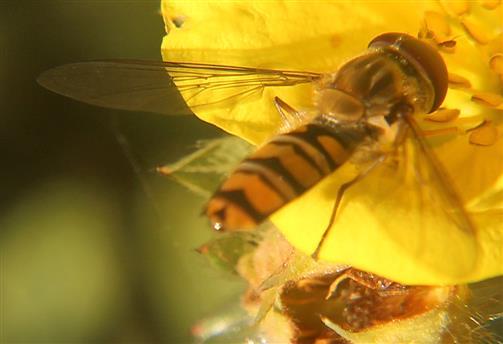 Hainschwebfliege(Episyrphus balteatus(De Geer 1776)) beim Blütenbesuch(Potentilla(Dasiphora) fruticosa(L.))