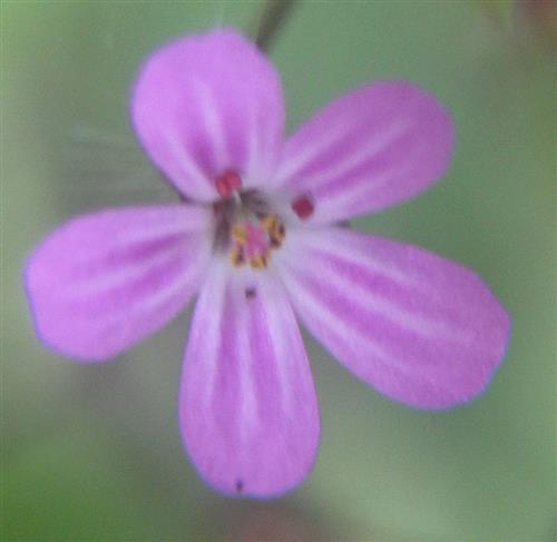 Blüte des Stinkende Storchschnabels(Geranium robertianum(L.))