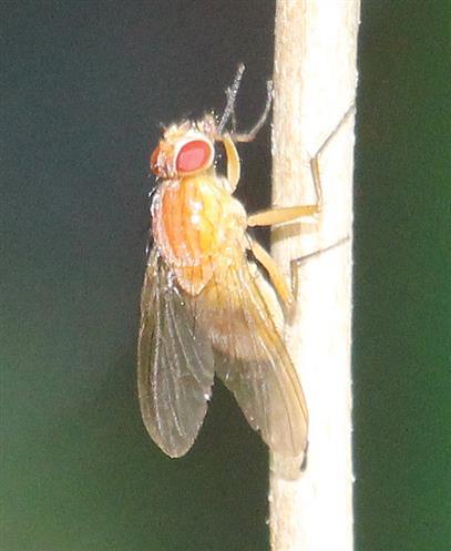 Taufliege(Drosophila)