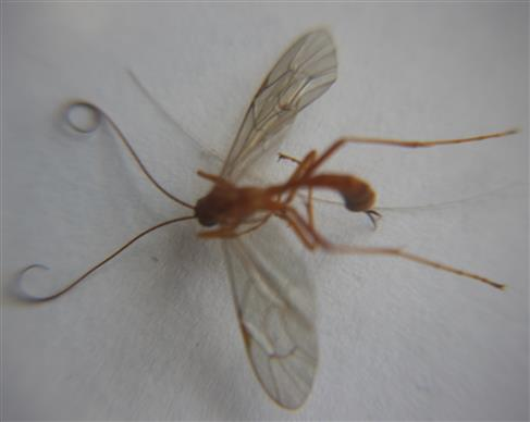 Sichelwespe(Ophion luteus)
