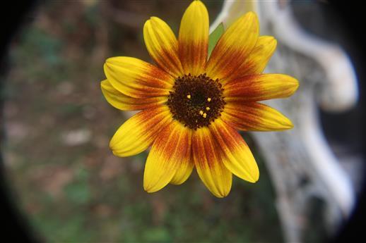 Kleinblumige Sonnenblume(Helianthus debilis)