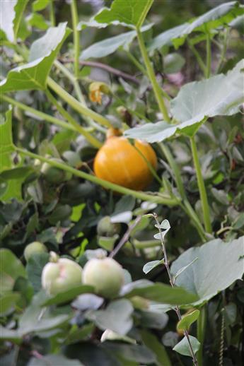 Hokkaidokürbispflanze(Cucurbita maxima) überwächst Apfelquitte(Cydonia oblonga(Mill.))