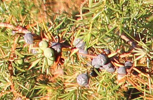 Beerenförmige Zapfen des Wacholders(Juniperus vulgaris(L.))