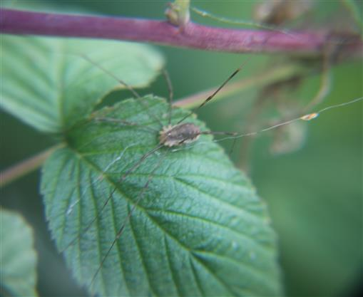 Weberknecht bzw. Schneider(Phalangium opilio) auf einer Brombeerpflanze(Rubus sectio Rubus)