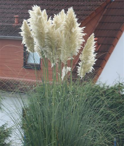 Amerikanisches Pampasgras(Cortaderia selloana(Schult. & Schult.F.) Asch. & Graebn.)